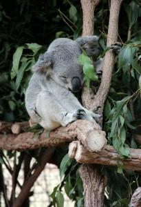 The famous koala!